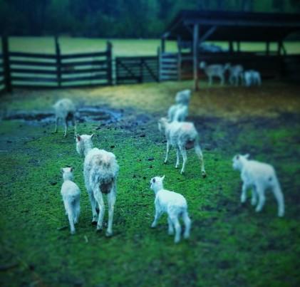 Brattonsville lambs (2)